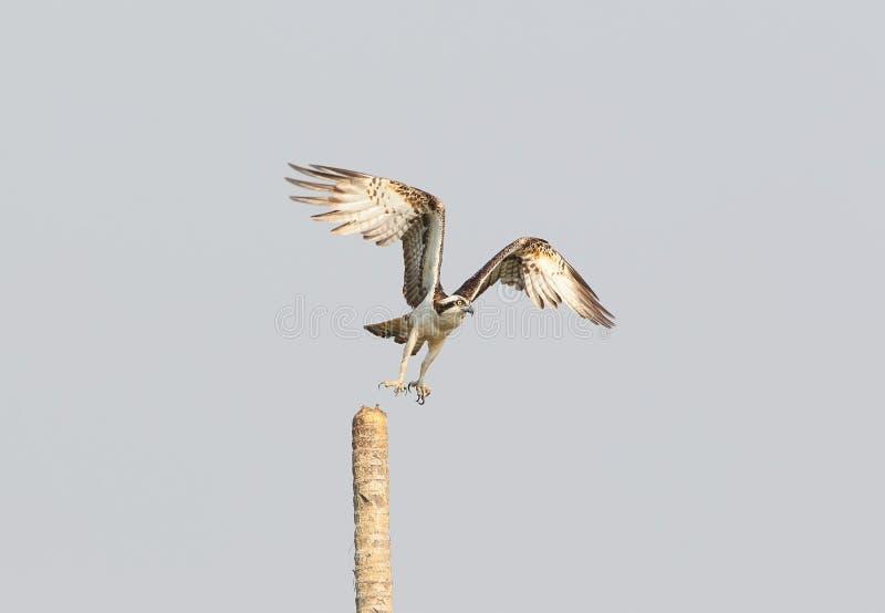 Descolagem da águia pescadora fotografia de stock royalty free