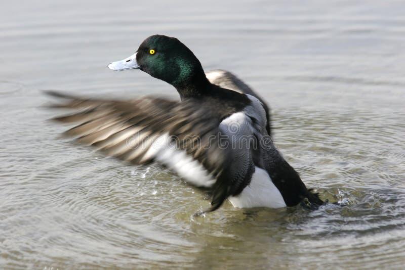 Descole O Pato Foto de Stock