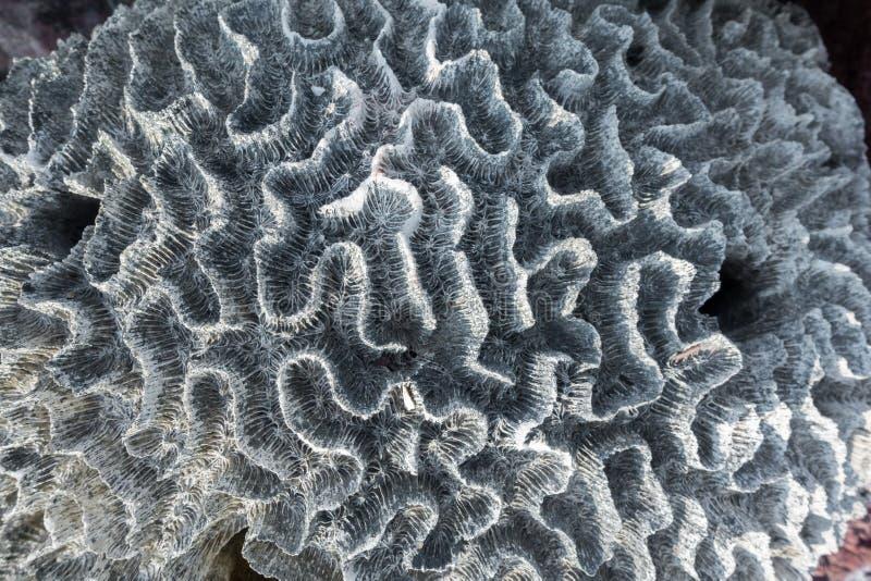 Descoramento coral, coral rochoso descorado no recife tropical perdido fotografia de stock