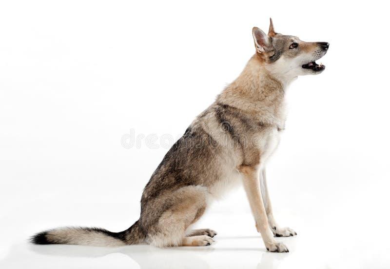 Descortezamiento que se sienta del wolfdog checoslovaco fotos de archivo libres de regalías