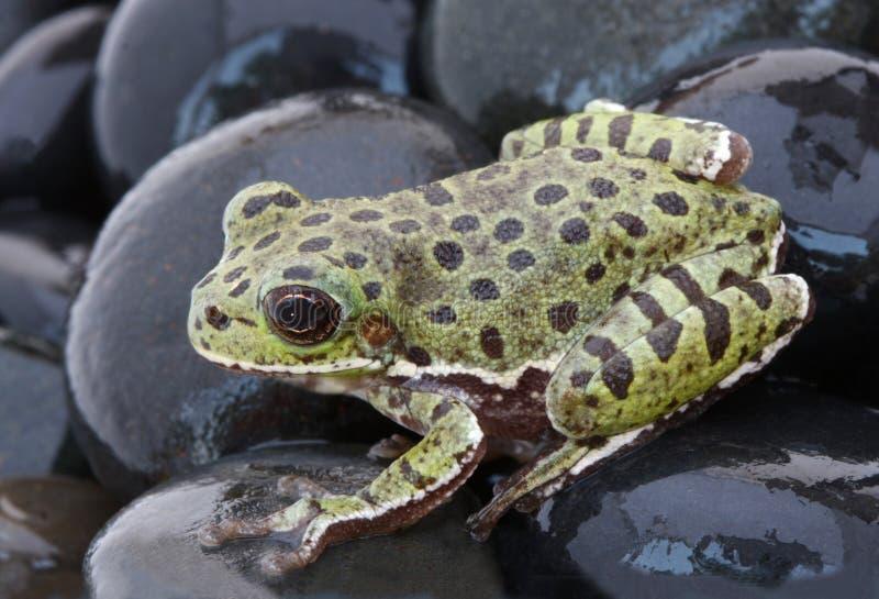 Descortezamiento Treefrog en rocas negras imagenes de archivo