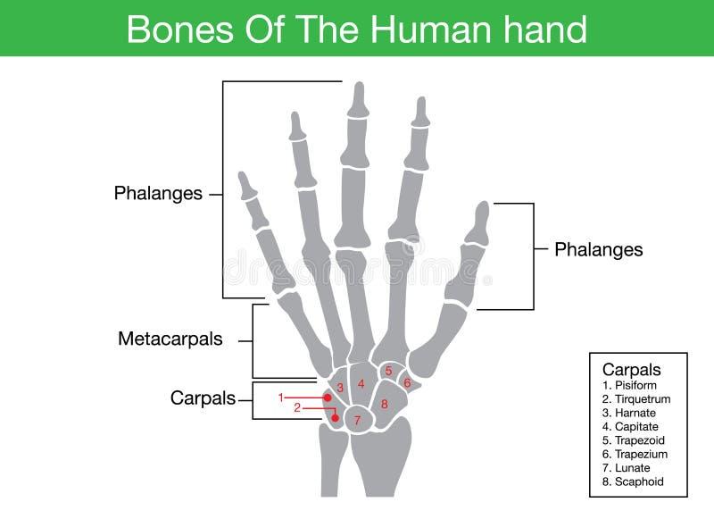 Descrição dos componentes do osso de mão humano ilustração do vetor
