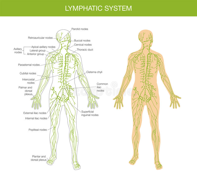 Descripción Médica Del Sistema Linfático Ilustración del Vector ...