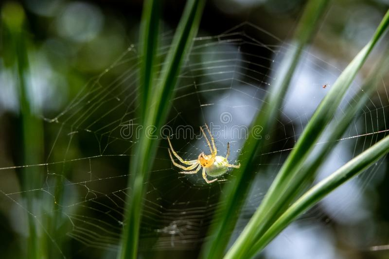 small green spider on a pine tree close-up royalty free stock photography