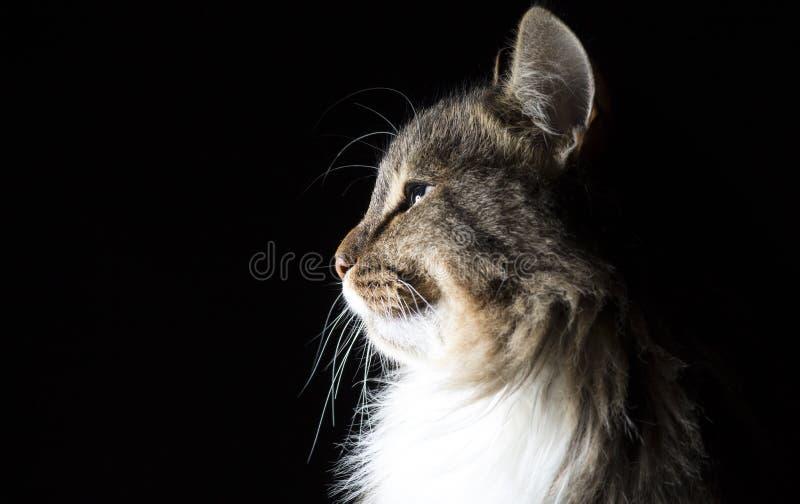 Descriva il ritratto della siluetta di bello gatto lanuginoso su un fondo nero fotografie stock