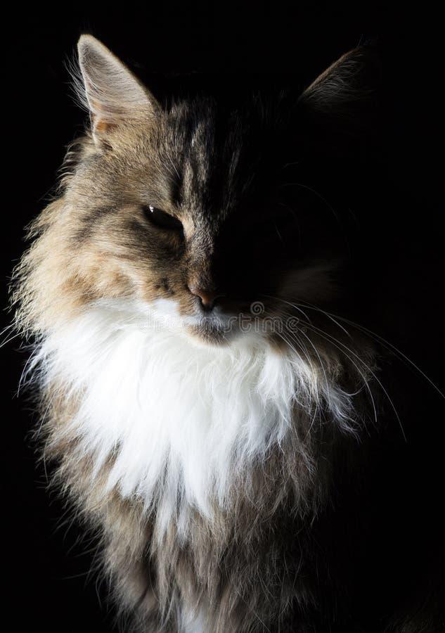 Descriva il ritratto della siluetta di bello gatto lanuginoso su un fondo nero immagine stock