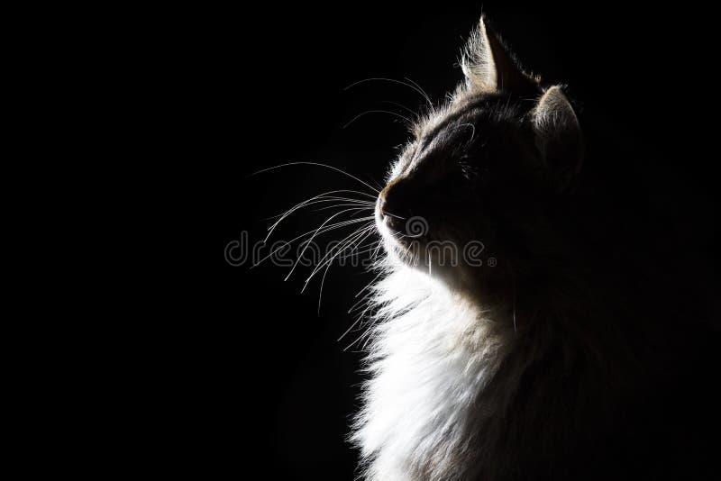 Descriva il ritratto della siluetta di bello gatto lanuginoso su un fondo nero fotografia stock