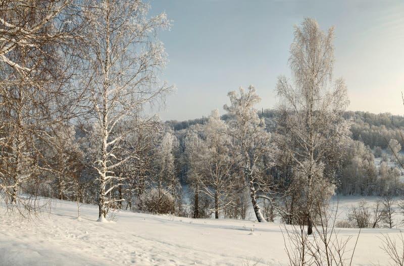 Descubra vidoeiros cobertos de neve na neve profunda na inclinação com a floresta do inverno no fundo foto de stock
