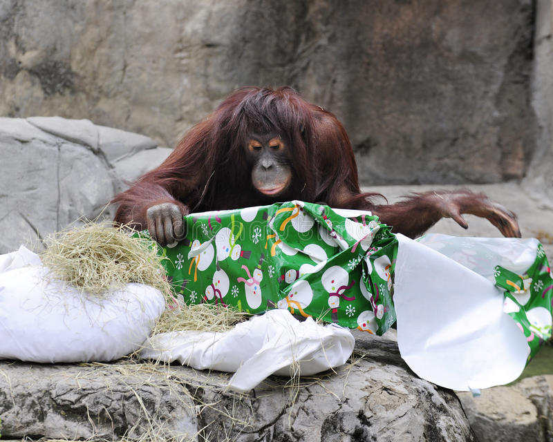 Desempacotando o Natal no jardim zoológico foto de stock royalty free