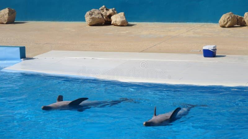 Desempenho da mostra do golfinho fotos de stock royalty free