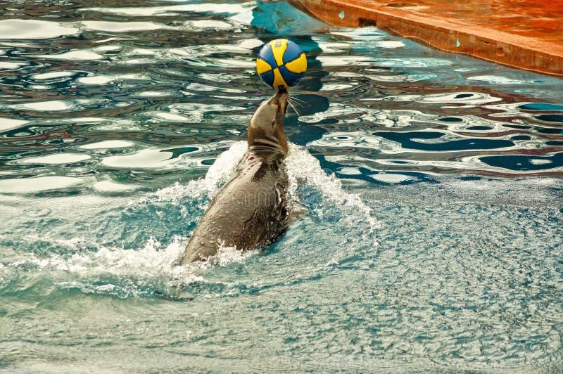 Desempenho do leão de mar imagens de stock royalty free