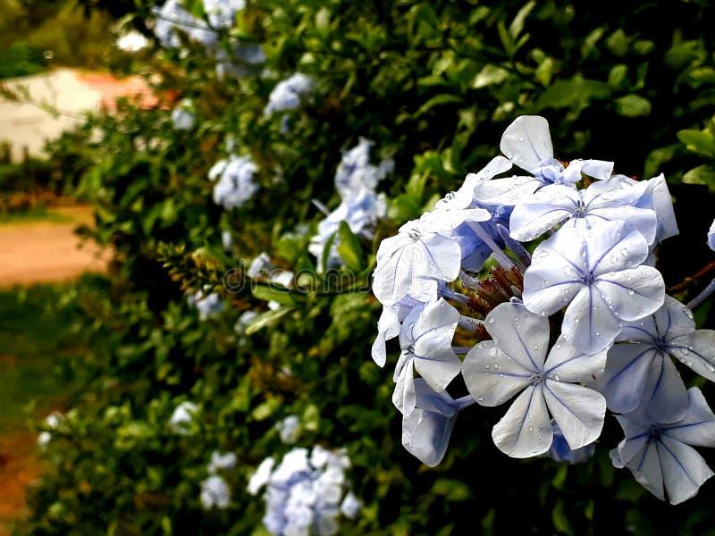 Desenfocada HD di lila di Flor immagini stock libere da diritti