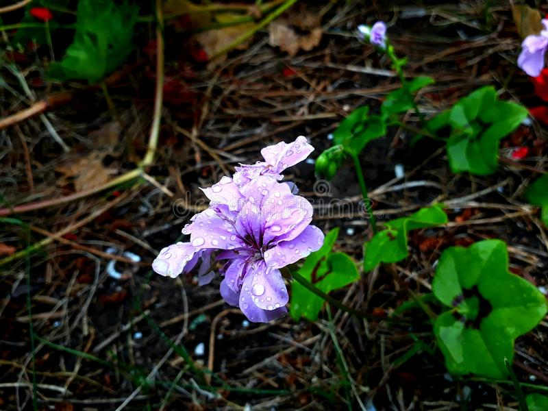 Desenfocada HD di lila di Flor fotografia stock libera da diritti