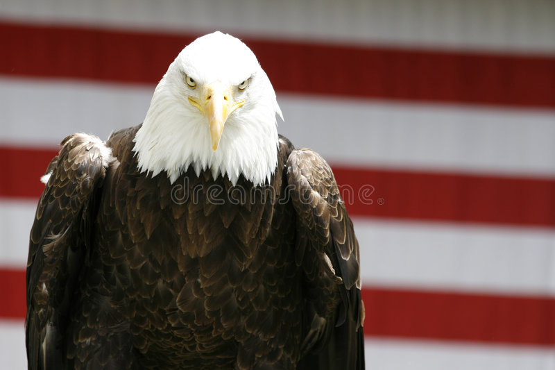 Desengaço Da águia Fotografia de Stock Royalty Free