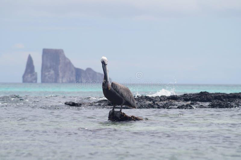 Desengaço só do pelicano & x28; galapagos& x29; imagens de stock