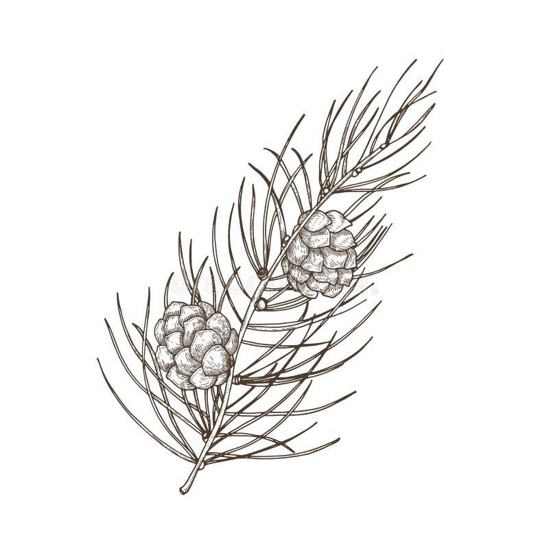 Desenho botânico bonito tirado mão do ramo do pinho com agulha-como folha e cones Árvore conífera verde ilustração do vetor