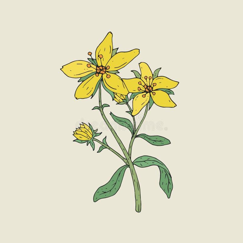 Desenho botânico colorido do wort de St John s na flor Crescimento de flores amarelo macio na haste verde com mão das folhas ilustração do vetor