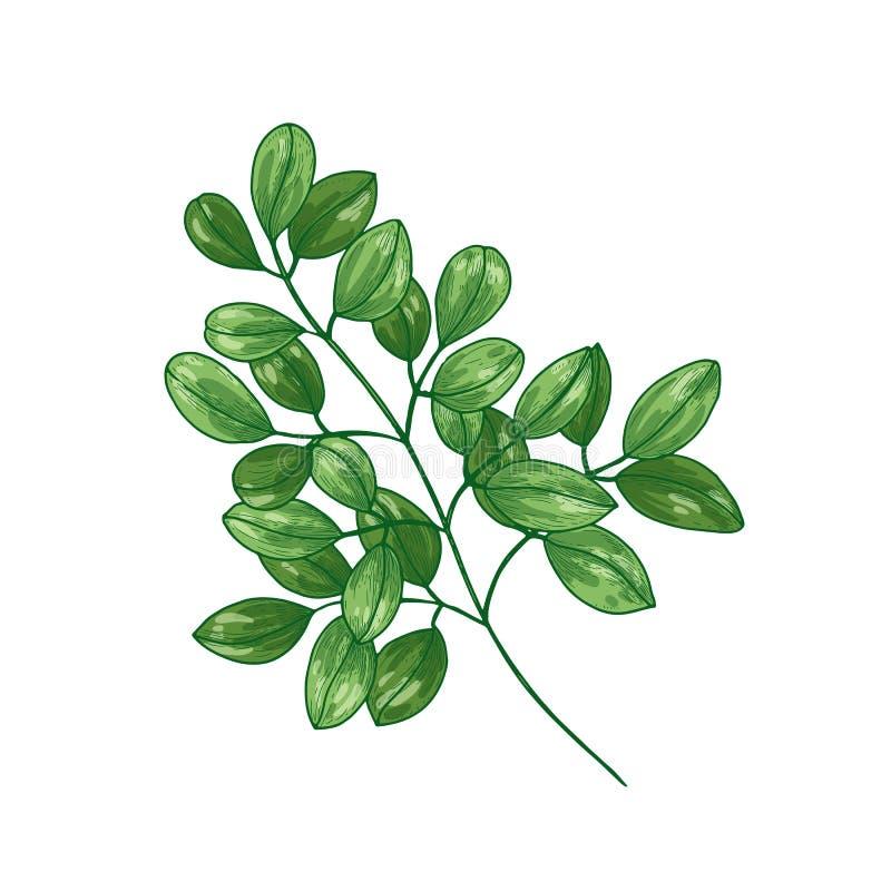 Desenho botânico elegante da árvore ou da moringa oleifera do milagre Planta herbácea tropical usada em phytotherapy isolado ilustração royalty free