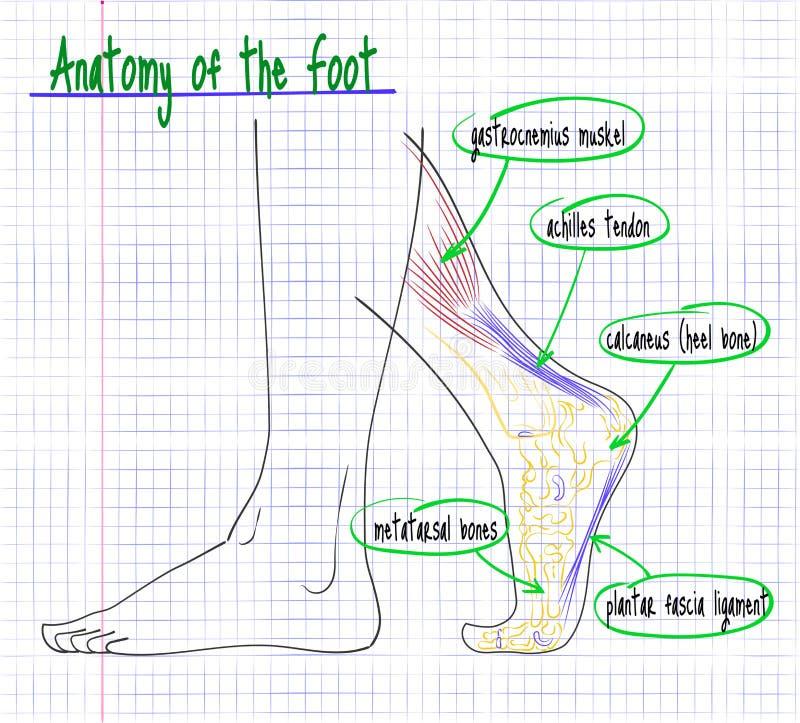 Desenho da anatomia do lado do pé humano ilustração stock
