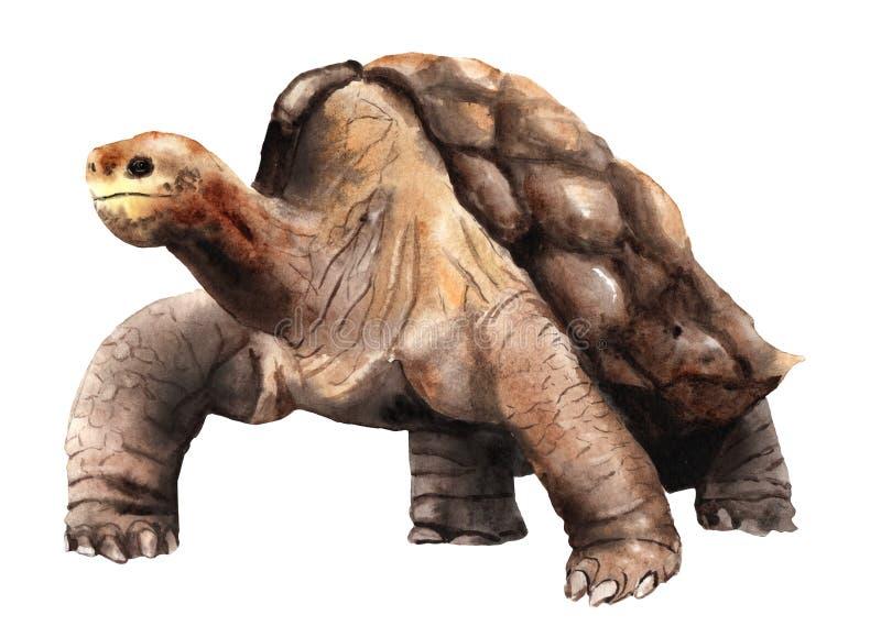 Desenho da aquarela de um animal - tartaruga de Abingdon Galápagos ilustração do vetor