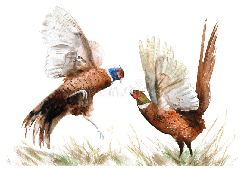 Desenho da aquarela de um pássaro dois faisão na grama ilustração do vetor