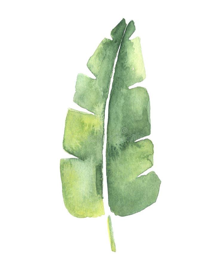 Desenho da aquarela de uma folha tropical da banana ilustração do vetor