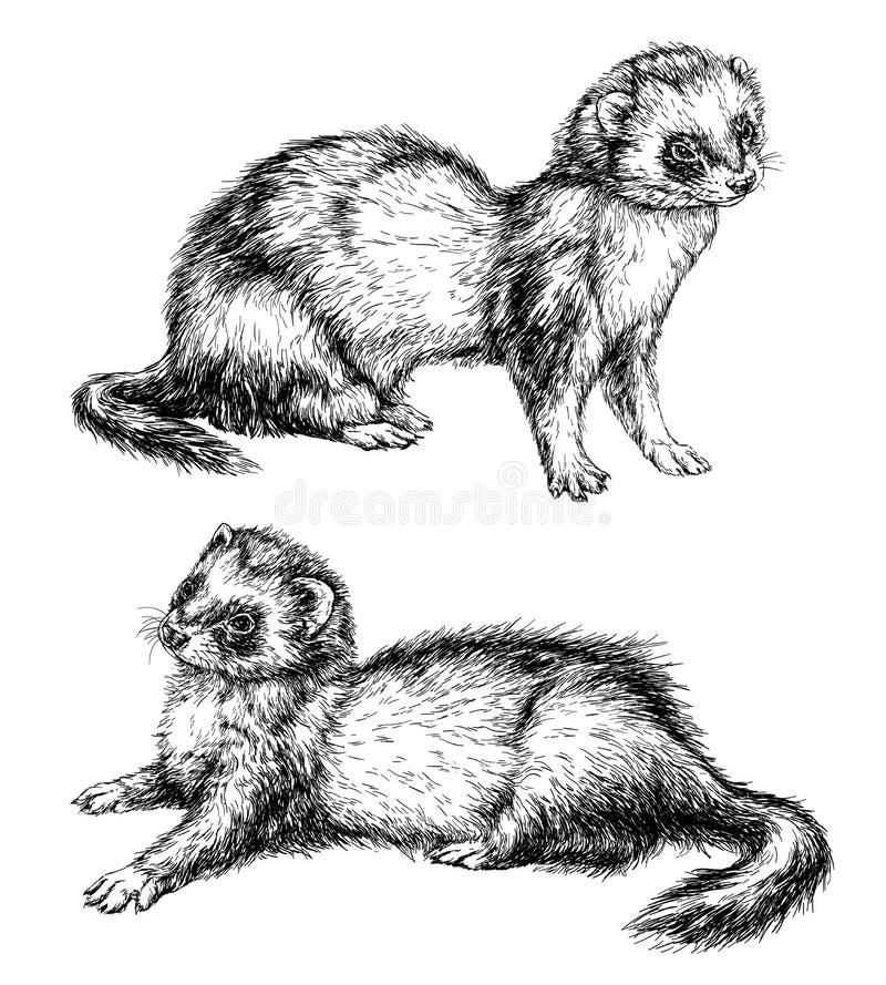 Desenho da doninha ilustração do vetor