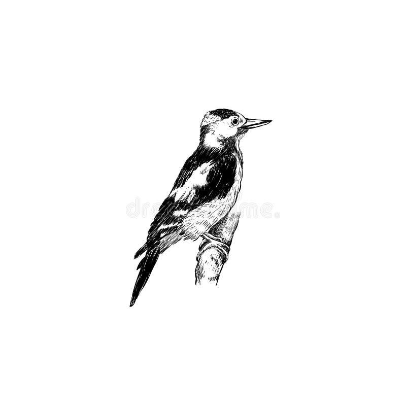 Desenho da mão do esboço do pica-pau Pássaro do pica-pau ilustração royalty free