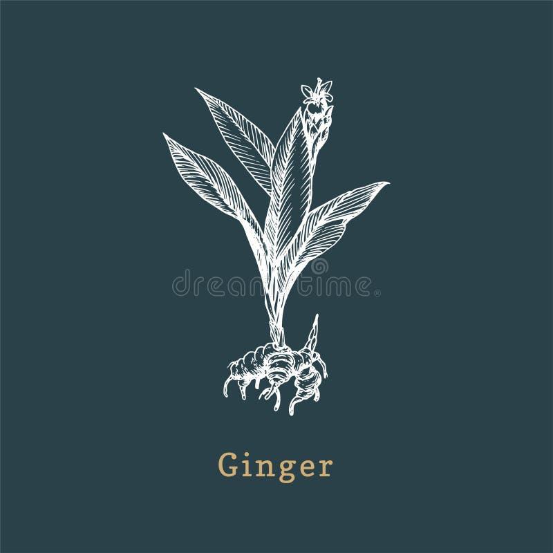 Desenho de Vetor Ginger Peles de especiarias desenhadas no estilo da gravação Ilustração botânica da planta biológica, ecológica ilustração royalty free