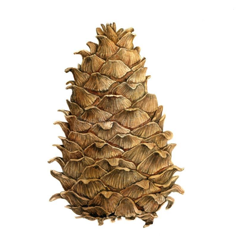 Desenho do cone do cedro na aquarela ilustração royalty free