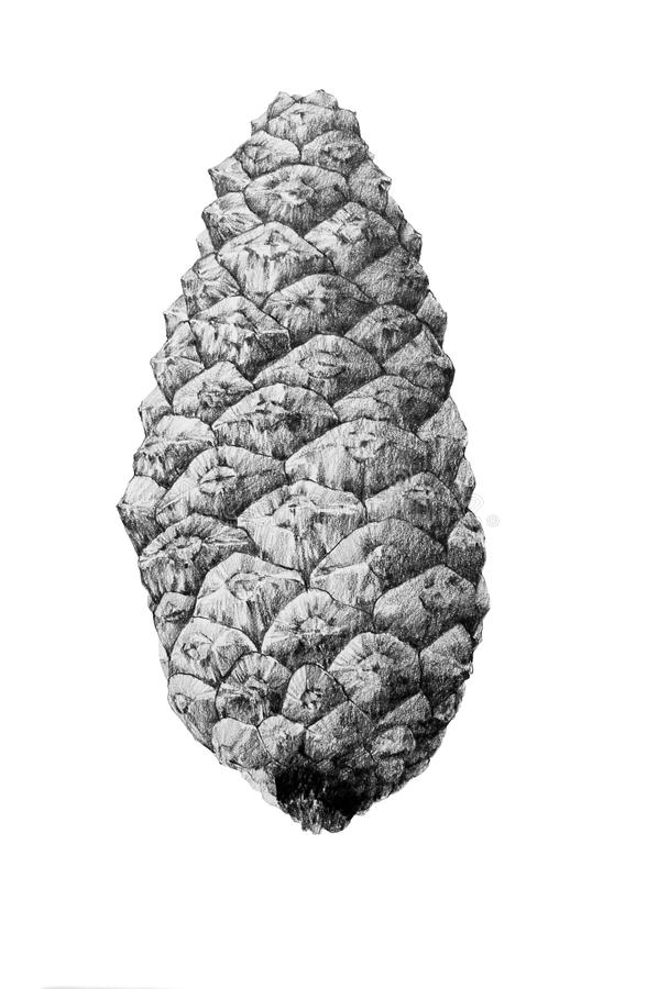 Desenho do cone do pinho foto de stock
