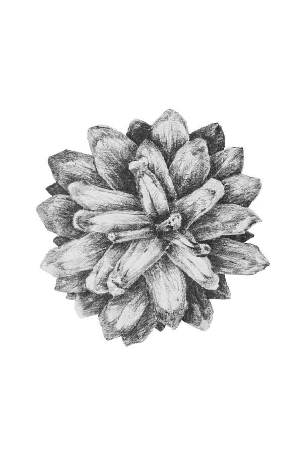 Desenho do cone spruce fotografia de stock royalty free