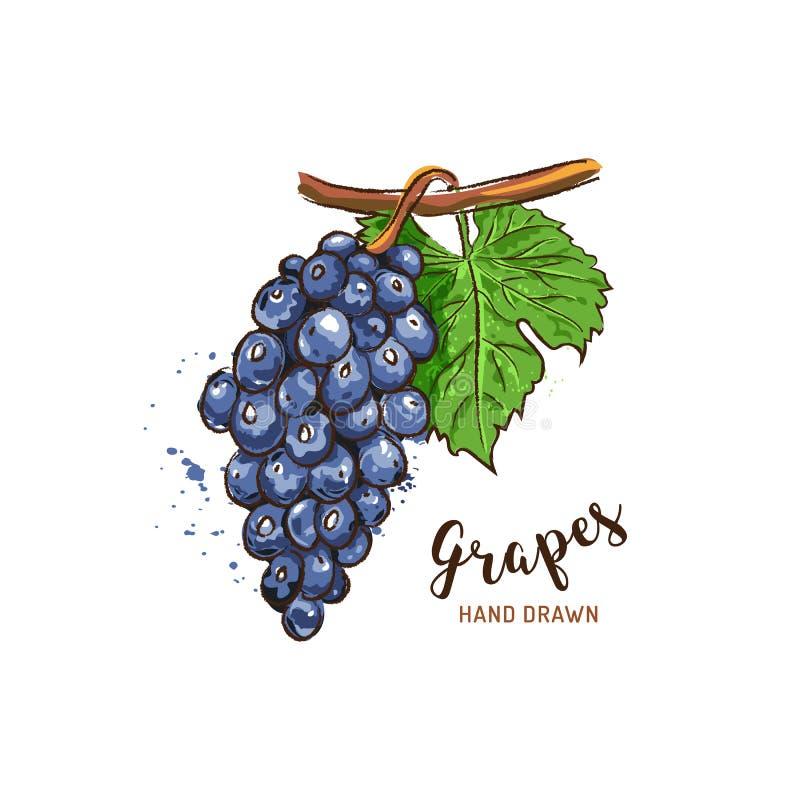 Desenho do fruto das uvas Uvas da aquarela em um fundo branco Ilustra??o do vetor ilustração do vetor