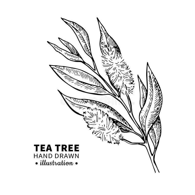Desenho do vetor da árvore do chá A ilustração isolada do vintage da planta médica sae no ramo ilustração do vetor