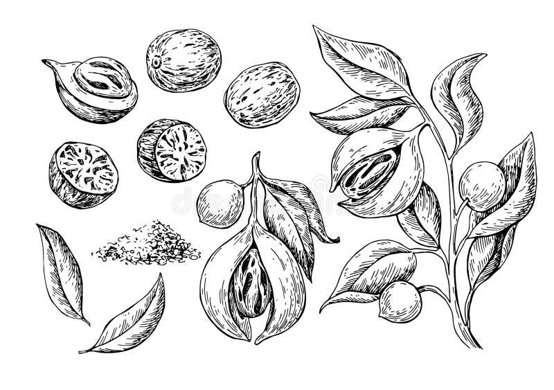 Desenho do vetor da especiaria da noz-moscada Esboço à terra da porca do tempero Sementes secadas e frutos frescos dos macis erva ilustração royalty free