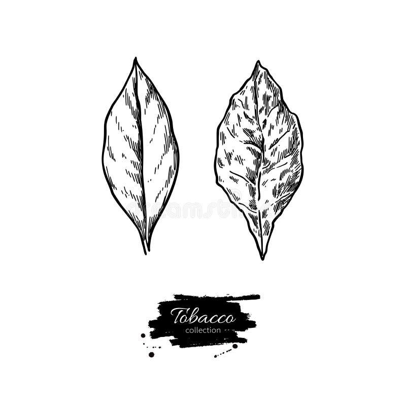 Desenho do vetor da folha do cigarro Fresco e secado Mão botânica dracma ilustração do vetor