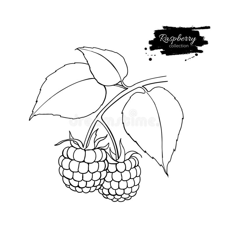 Desenho do vetor da framboesa Esboço isolado do ramo da baga no branco ilustração royalty free