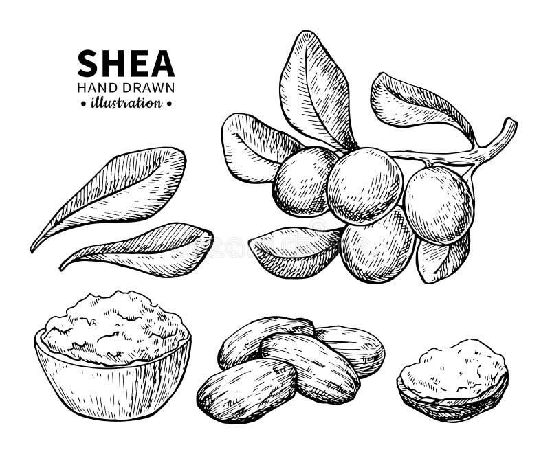 Desenho do vetor da manteiga de Shea Ilustração isolada do vintage das porcas Esboço gravado orgânico do estilo do óleo essencial ilustração do vetor
