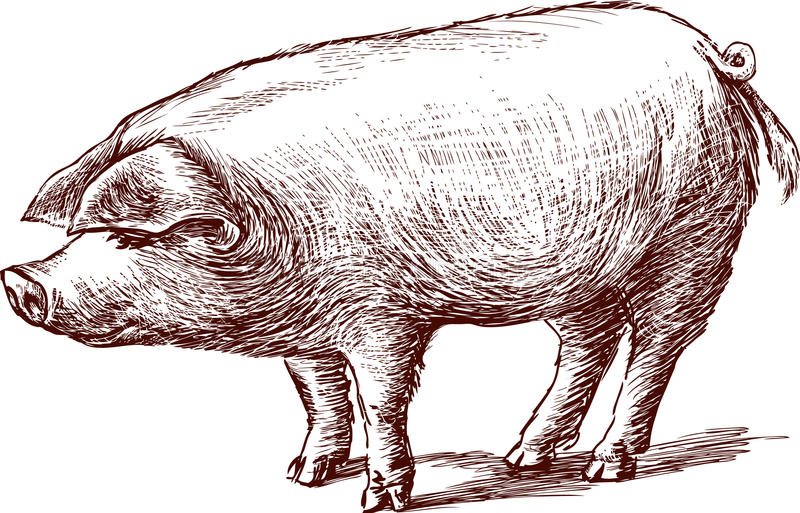 Porco ilustração royalty free