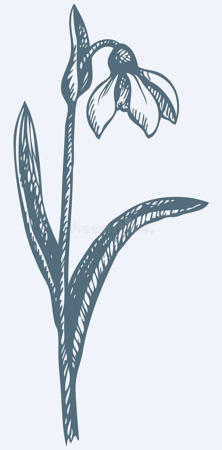 Desenho do vetor Primeira flor da mola - Snowdrop ilustração stock