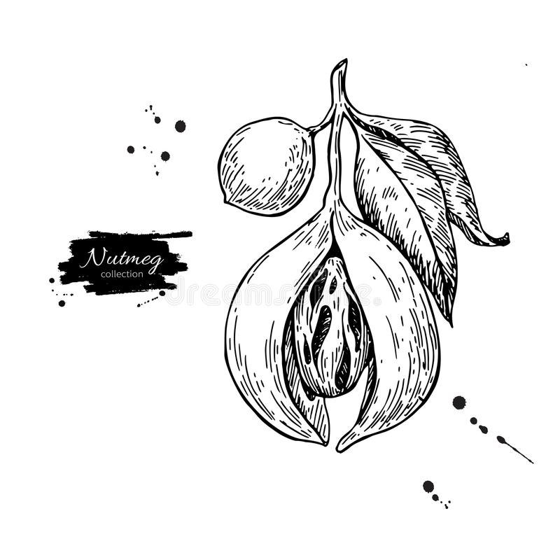 Desenho do vetor do ramo da planta da noz-moscada Ilustração botânica Vint ilustração do vetor