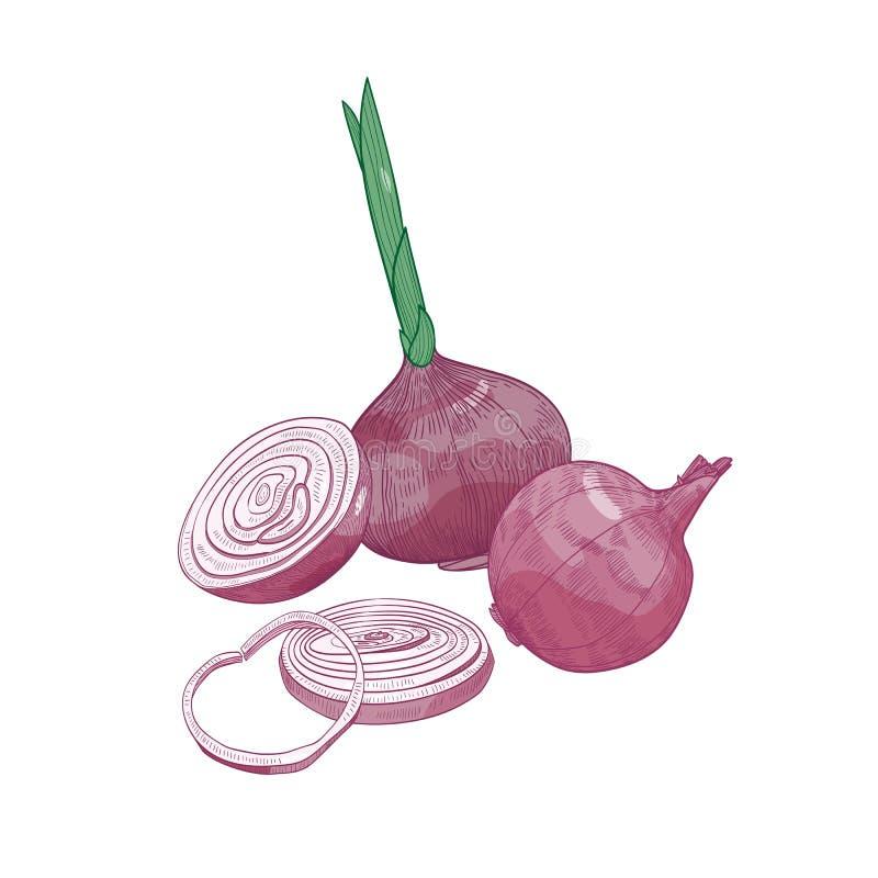 Desenho elegante do corte e da cebola vermelha inteira Vegetal cru maduro orgânico fresco, colheita cultivada ou mão do produto d ilustração royalty free