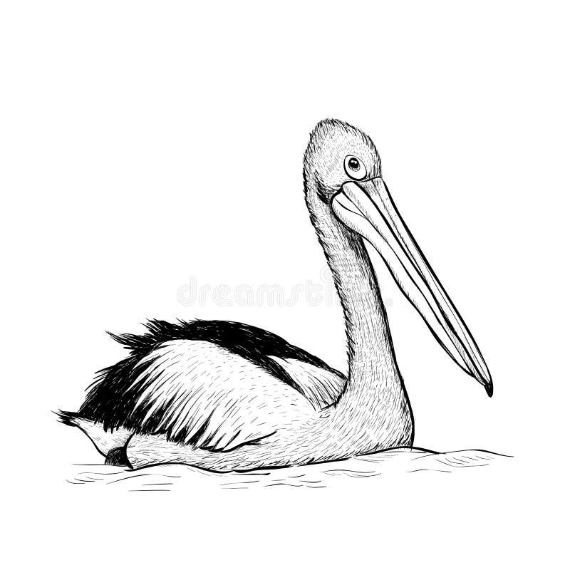 Desenho preto e branco da mão do esboço do pássaro do pelicano ilustração royalty free