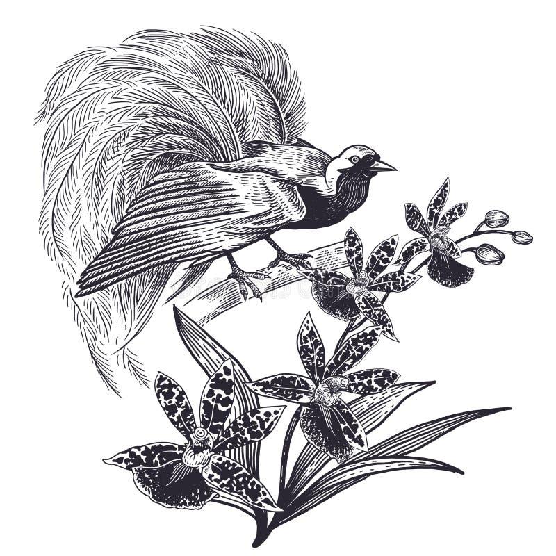 Desenho realístico da mão do pássaro de Paradise e do isolado orquídea ilustração stock