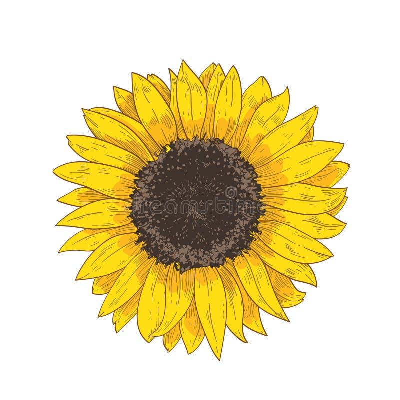 Desenho realístico natural elegante da cabeça do girassol Detalhe ou peça da flor lindo ou da mão cultivada da colheita tirada so ilustração do vetor