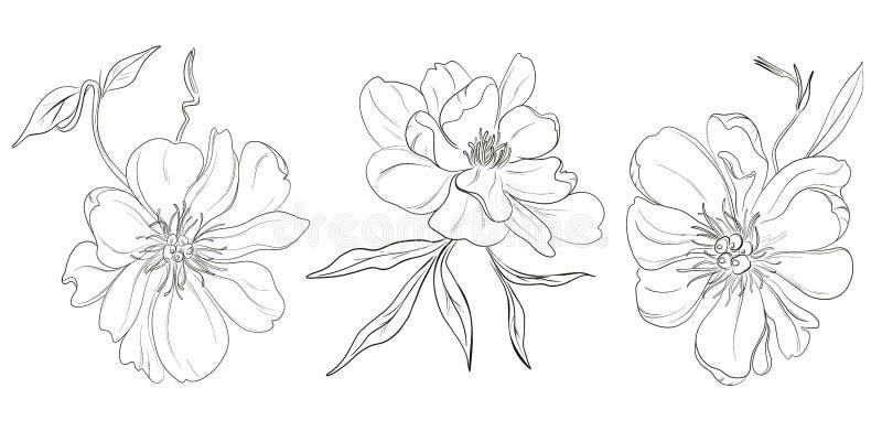 Desenhos brancos pretos desenhados à mão das flores da peônia do vetor Ilustração abstrata monocromática bonita da flor Esboço fl ilustração royalty free