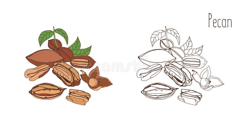 Desenhos coloridos e monocromáticos da noz-pecã no shell e descascado com folhas Drupas ou mão comestível deliciosa da porca tira ilustração stock