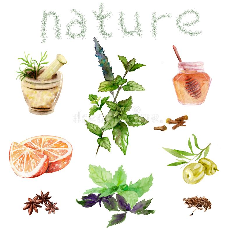 Desenhos da aquarela de cosméticos naturais: hortelã, manjericão, mel, azeitonas, laranja ilustração do vetor