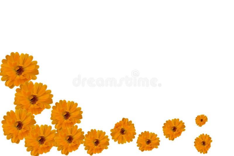 Deseniowa ilustracja kwiaty calendula nagietek na białym tle obrazy stock