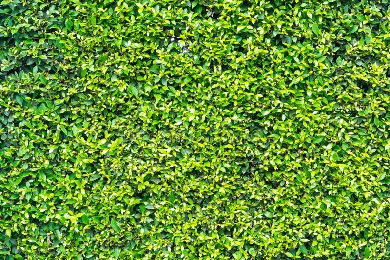 Deseniowy tekstury tło Malutcy Mali Zieleni liście, Koreańscy półdupki zdjęcie royalty free